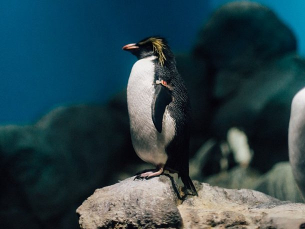 Underwater World Langkawi - Rockhopper Penguin